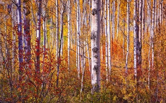 Aspen Autumn by Mark Mathews