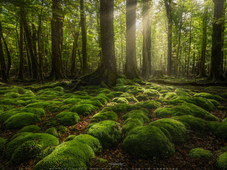 Green pillows deep in the red beech forest by Stanley Loong