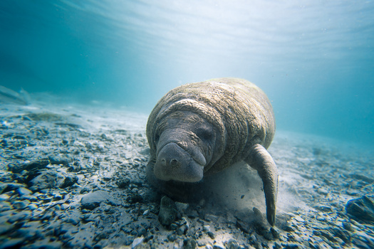 Exhausted Manatee