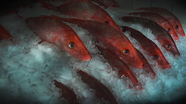 Snapper on Ice