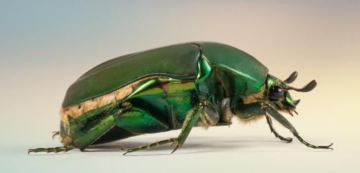 Green Beetle by raul dighero