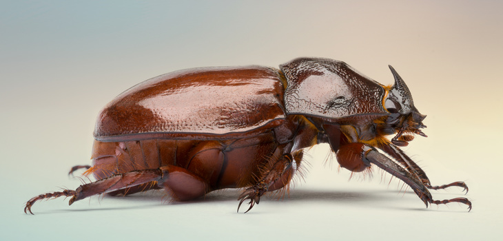 Horn Beetle by raul dighero