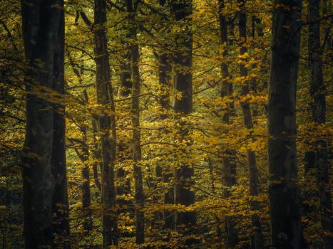 Autumnal beech forest by Rudi Sørstrønen