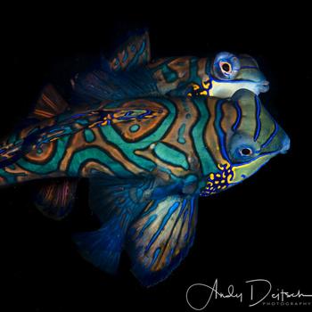 Mating Mandarinfish by Andy Deitsch