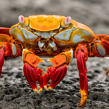 Galapagos Crab by Spencer Clark