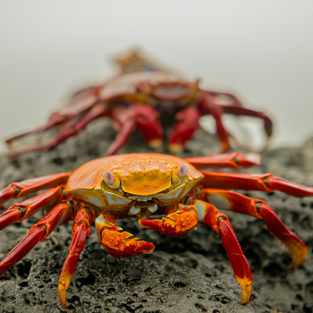 Galapagos Crabs by Spencer Clark