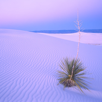 White Sands Yucca by Marty Quinn