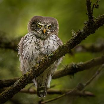 Pygmy owl (Glaucidium passerinum) by Danijel Turnšek