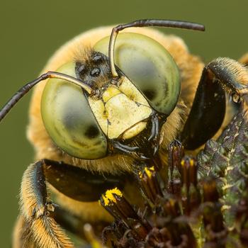 Carpenter Bee by William Banik