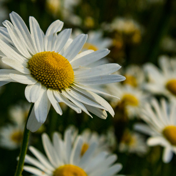 Daisies, close up by Mike Young
