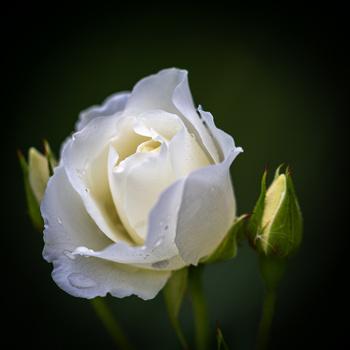 Rose by Romeo Ninov