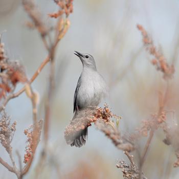 Gray Catbird by Ryan Mense