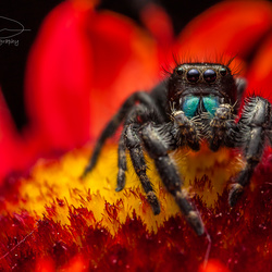 Jumping spider  by Jonathan Willner