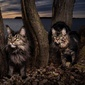 GENTLE GIANTS OF THE WILD | Maine Coons Back in Nature's picture