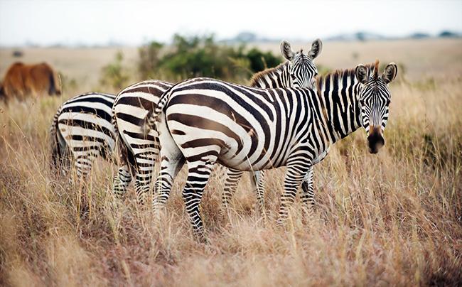 kenya_zebra_650px