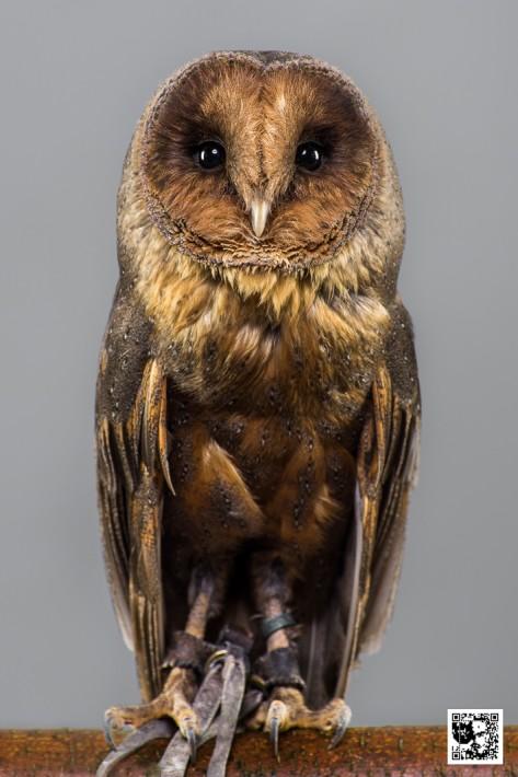 Ash - Barn Owl