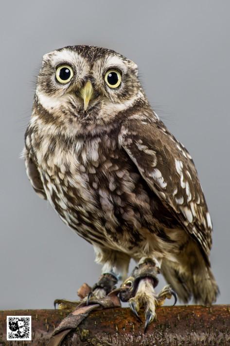 Bob - Little Owl