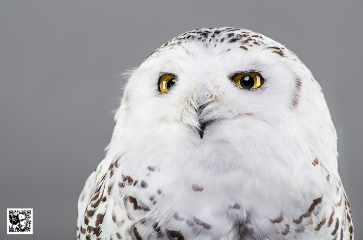 Google - Snowy Owl