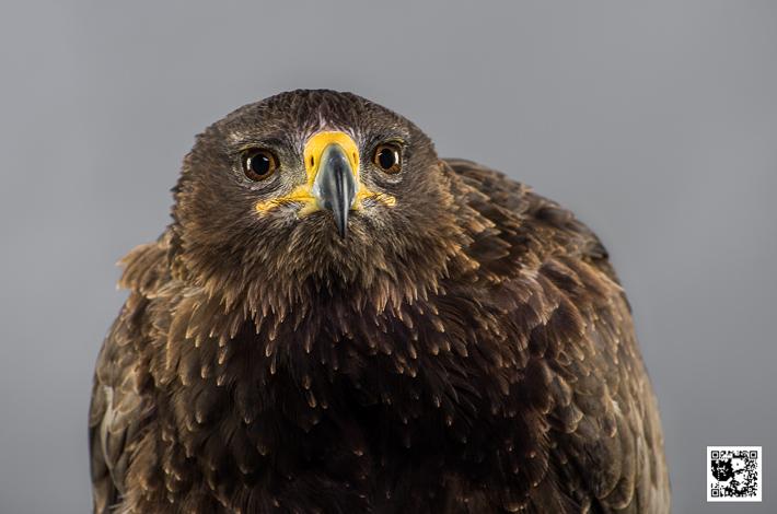 Tempest - Twany Eagle