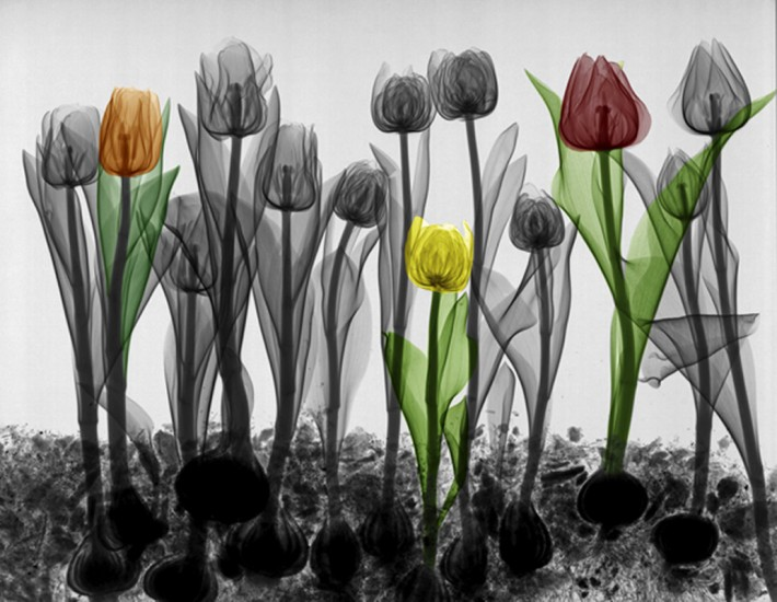 Flowers-X-Ray