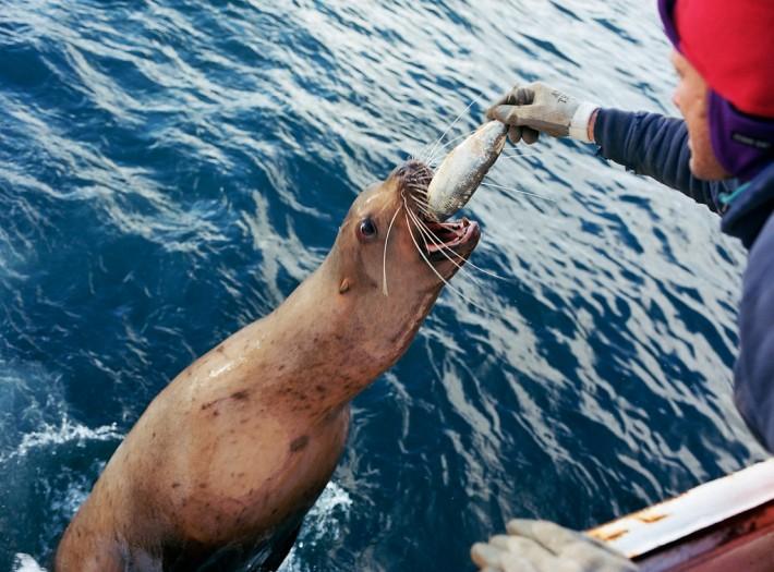 Sea Lion Feeding